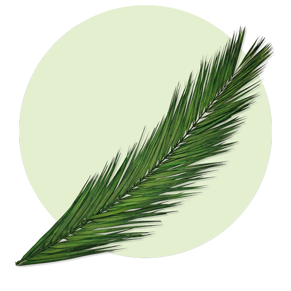 Palmwedel Palmzweig